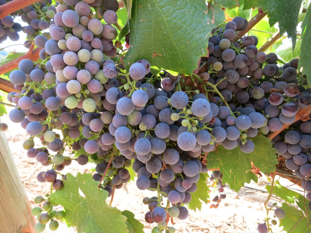Carmenère Grapes