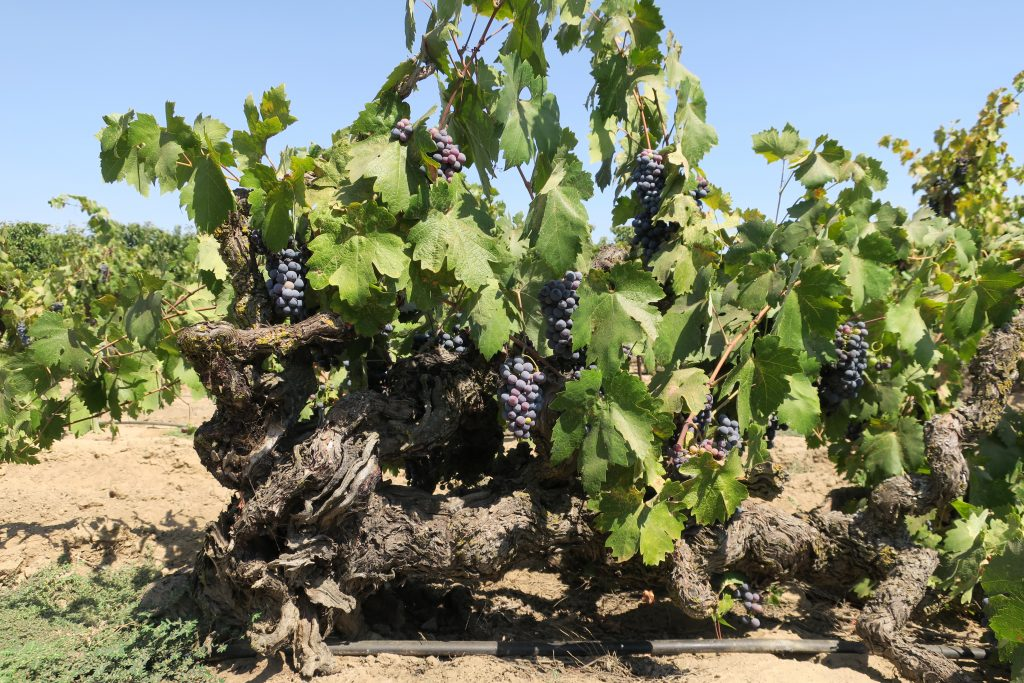 Century-old Zinfandel vine in Lodi's Rous Vineyard