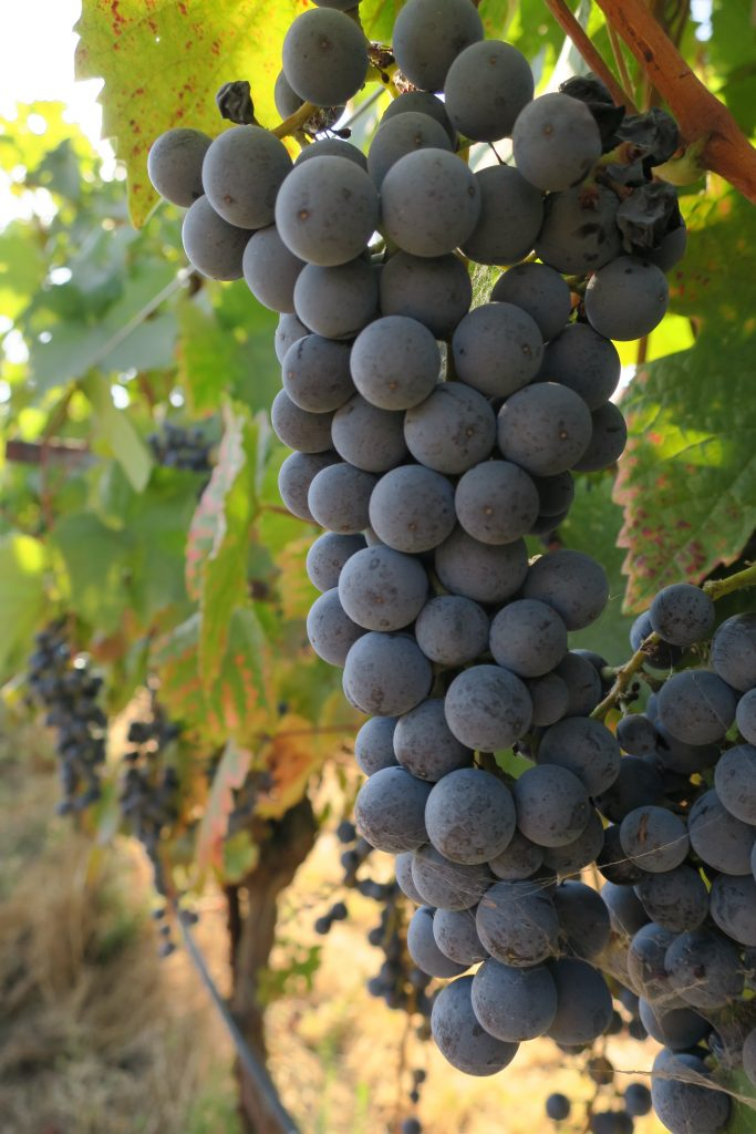 Dornfelder growing in Lodi's Mokelumne Glen Vineyards